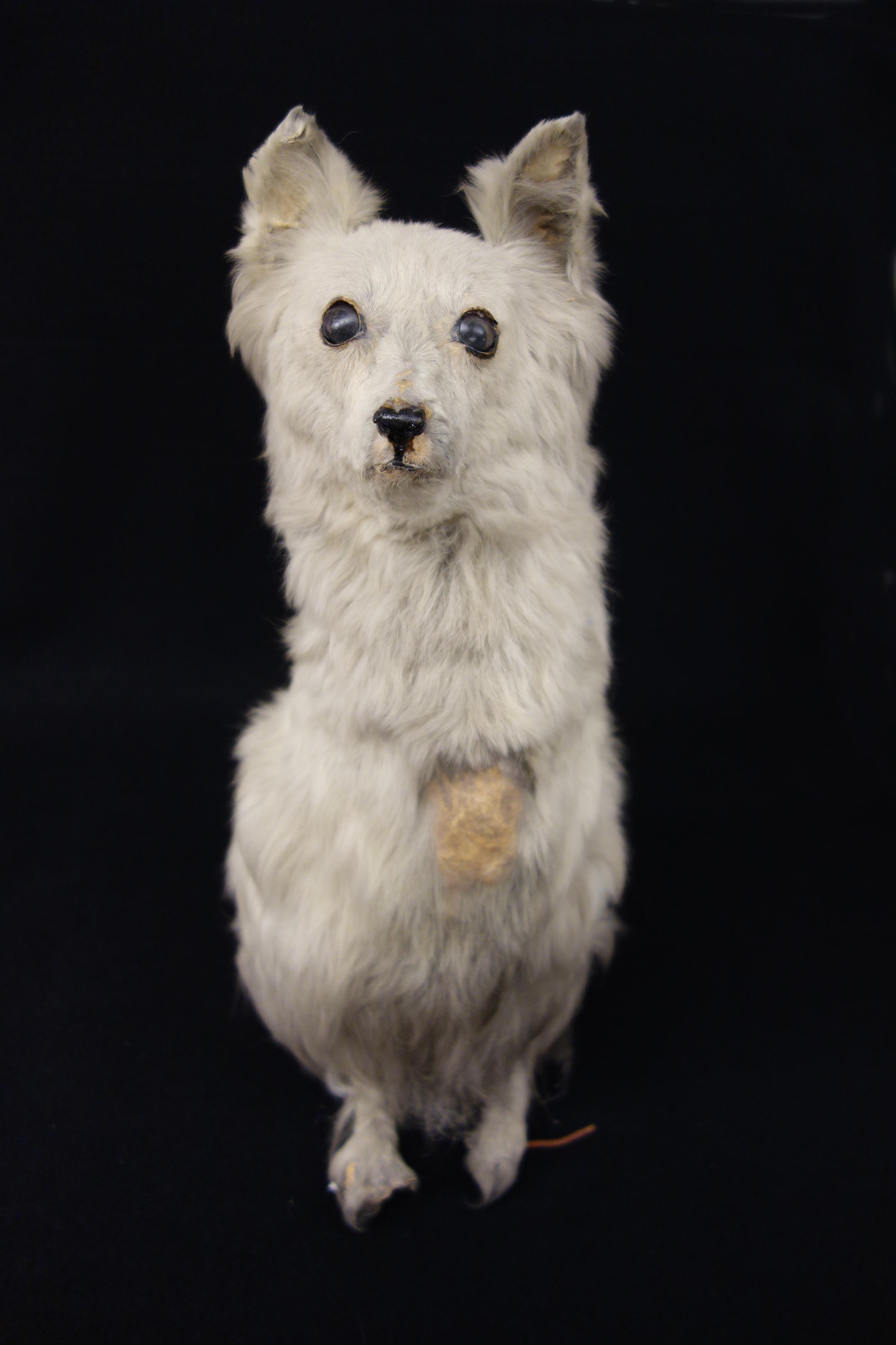 Skipper, Thomas Barnett's two-legged dog. A white terrier type dog with only two legs. The front two legs are missing because of a birth defect. It was taxidermied and stands pertly on its hind legs. There is some crystaline powder and wear on Skipper's chest, nose and ears.